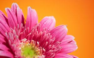 Pinke Gerberablüte vor orangefarbenem Hintergrund