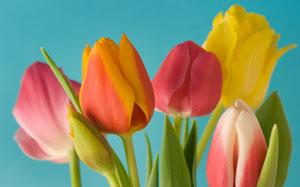 Tulpen vor türkisfarbenem Hintergrund