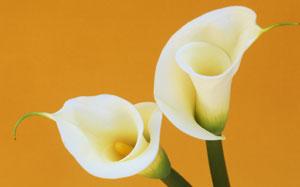 Weisse Callas vor gelbem Hintergrund