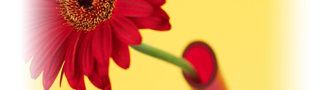 Eine rote Gerbera in einer Blumenvase