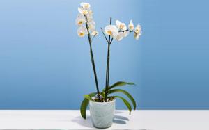 Eine weisse Orchidee vor einem hellblauen Hintergrund