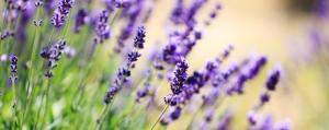 Lust auf lila? Lavendel-Tipps für Ihr Zuhause