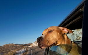 Ein Hund schaut aus einem Autofenster