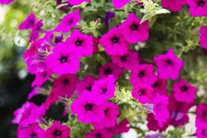 Violette Petunien