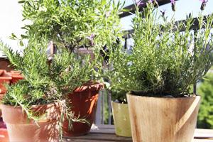 Différentes herbes dans des pots sur un balcon