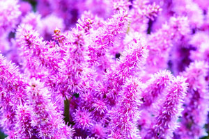 Astilbes violets