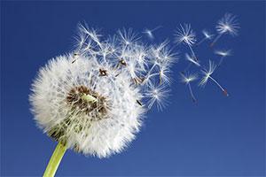 Pusteblume mit fliegenden Samen