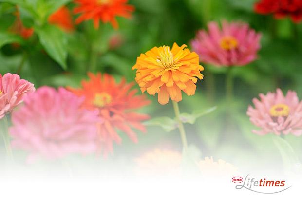 Tipp für Last-Minute-Gärtner: Zinnie