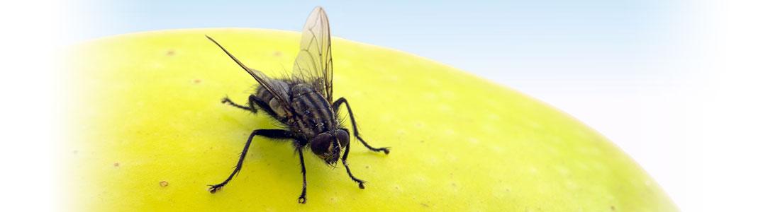 Fliege auf Apfel